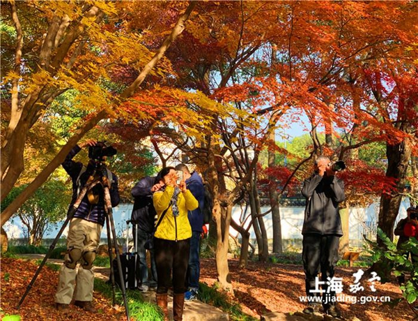 Colorful maple trees attract visitors to Jiading