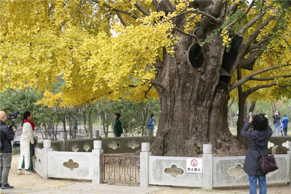 Ancient ginkgo tree in Jiading offers stunning views